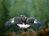 Golden Eagle, Male Perched, Highlands, Scotland Photographic Print by Mark Hamblin