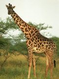 Giraffe, Ngorongoro Crater, Africa Photographic Print by Keith Levit