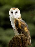Barn Owl on Stump Fotoprint van Russell Burden