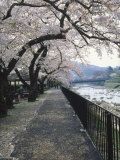 Cherry Blossoms, Sakura, Hakone, Japan Photographic Print by Chel Beeson