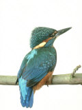 Kingfisher, Aylesbury, UK Papier Photo par Les Stocker