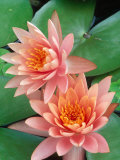 Water Lily, Botanical Gardens, San Antonio, TX Photographic Print by Mark Gibson