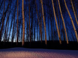 Aspen Forest in Winter Near Anchorage, USA Photographic Print