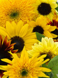 Helianthus (Mixed Cut Flower) Photographic Print by Mark Bolton