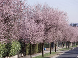 "Prunus Cerasifera ""Pissardii"" Lining a Road with Blossom in Spring Photographic Print by Michele Lamontagne"