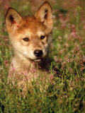 Six-week-old Wolf Pup, Colorado Photographic Print by Russell Burden