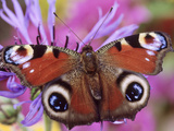 Peacock Butterfly on Cornflower Fotoprint van Steven Knights