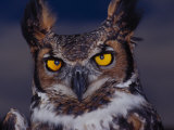 Great Horned Owl Photographic Print by Russell Burden