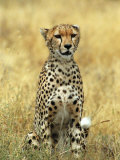 Cheetah, Ngorongoro Crater, Africa Photographic Print by Keith Levit