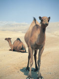 Two Camels Photographic Print by Lauree Feldman