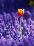 Tulip, Holland Fotografie-Druck von Peter Adams