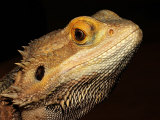 Bearded Dragon Lámina fotográfica por Larry Jernigan