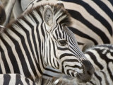Burchells Zebra, Head, Botswana Impresso fotogrfica por Mike Powles