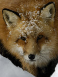 Red Fox, Winter, USA Photographic Print by Daniel J. Cox