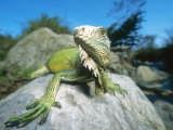 Green Iguana in Stream-Side Natural Habitat, Lambayeque Province, Peru Photographic Print by Mark Jones