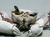 Crab, Shows Independent Eye Movement Fotografisk tryk af Victoria Stone & Mark Deeble
