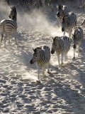 Burchells Zebra, Group Walking, Botswana Photographic Print by Mike Powles