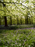 Bluebells and Beech Leaves in Oak Woodland, Forest of Dean, Gloucestershire Photographic Print by John Downer