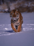 Siberian Tiger Running in the Snow Photographic Print by Lynn M. Stone
