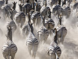 Burchells Zebra, Group Running in Dust, Botswana Photographic Print by Mike Powles