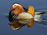 Mandarin Duck Swimming Photographic Print by Russell Burden