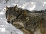 Gray Wolf, Two Captive Adults Kissing, Montana, USA Fotografisk trykk