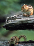 Two Eastern Chipmunks Lámina fotográfica