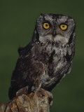 Screech Owl Photographic Print by Russell Burden