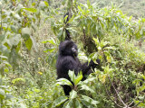 Mountain Gorilla, Female Climbing for Food, Rwanda Fotografisk tryk af Mike Powles