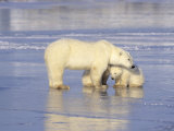 Polar Bears, Mother and Cub, Manitoba, Canada Photographic Print
