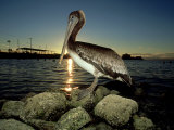 Brown Pelican, Baja California, Mexico Photographic Print by Tobias Bernhard