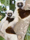 Coquerels Sifaka, Female with Youngster on Back, Madagascar Fotografisk tryk af Mike Powles