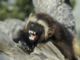 Wolverine, Snarling in the Foothills of the Rocky Mountains, USA Photographic Print