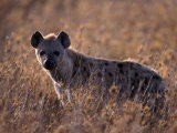 Spotted Hyena, Crocuta Crocuta, Tanzania Photographic Print by D. Robert Franz
