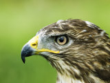 Common Buzzard, Profile Portait, UK Photographie par Mike Powles