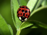 Nine Spotted Lady Bug Beetle Photographic Print by Larry Jernigan
