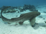 Leopard Shark, Male Swimming Over Ocean Floor, New Caledonia Photographic Print by Tobias Bernhard