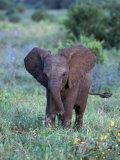 African Baby Elephant, Luxodonta Africana, Tanzania Stampa fotografica di Franz, D. Robert