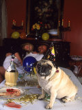 Pug Dog After New Year's Eve Party Photographic Print by Paul Gallaher