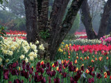 Tulips in Display Garden, Mt. Vernon, Laconner, WA Photographic Print by Christopher Jacobson