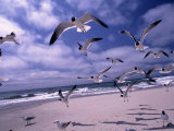 Gulls Flying Over Beach, Ocracoke Island, NC Photographie par Martin Fox