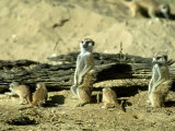 Meerkat (Suricate), Adults Watching Over Young Pups, Kalahari Gemsbok National Park Photographic Print by Tim Jackson