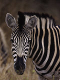 Burchell's Zebra, Equus Burchelli Photographic Print by D. Robert Franz