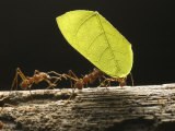 Leaf-Cutter Ants, Carrying Leaves, Costa Rica Fotografisk tryk af David M. Dennis