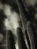 Saguaro Cactus, Kofa Nwa, AZ Photographic Print by David Wasserman