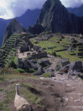 Inca Ruins of Machu Picchu, Llama, Peru Photographic Print by Shirley Vanderbilt
