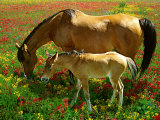 Horse and Foal Grazing Photographic Print by Gail Dohrmann