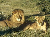 African Lion, Pair, East Africa Photographic Print by Frank Schneidermeyer