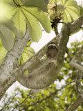 Three-Toed Sloth, Quepos, Costa Rica Photographic Print by David M. Dennis