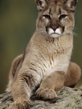 Mountain Lion or Cougar, USA Impressão fotográfica por Mike Hill